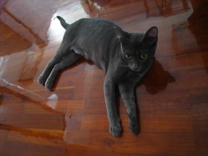 タイ原産のネコ「コラット」という種類