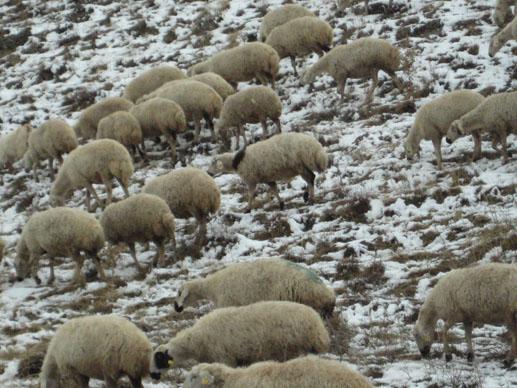 カッパドキアで見た羊たち