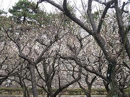 梅が開花して情緒を感じられました