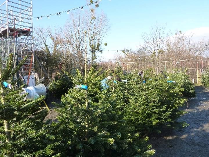 クリスマスツリーは生きたモミの木