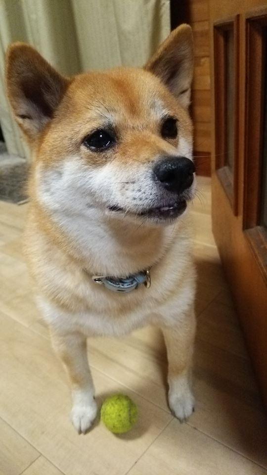 """(モデルの柴犬""""小町ちゃん?"""")"""