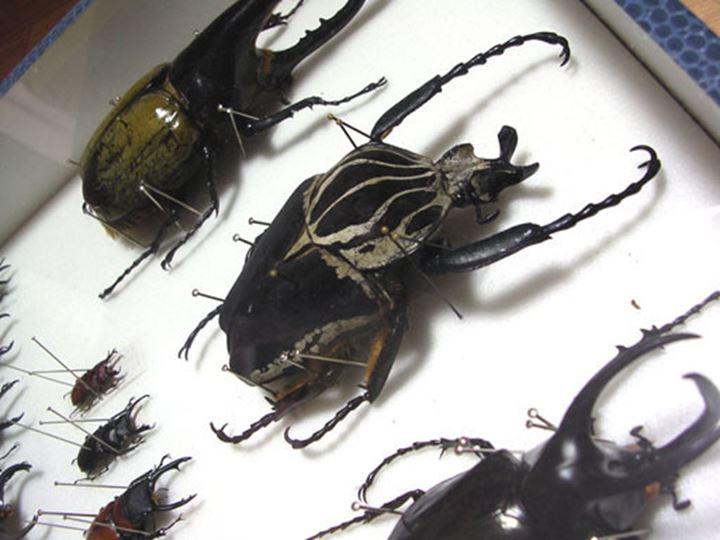 昆虫コレクション(お気に入りはオオハナムグリ)