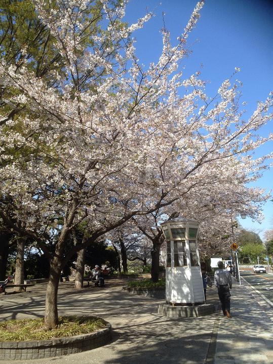 歴史ある山手にも桜並木が・・・
