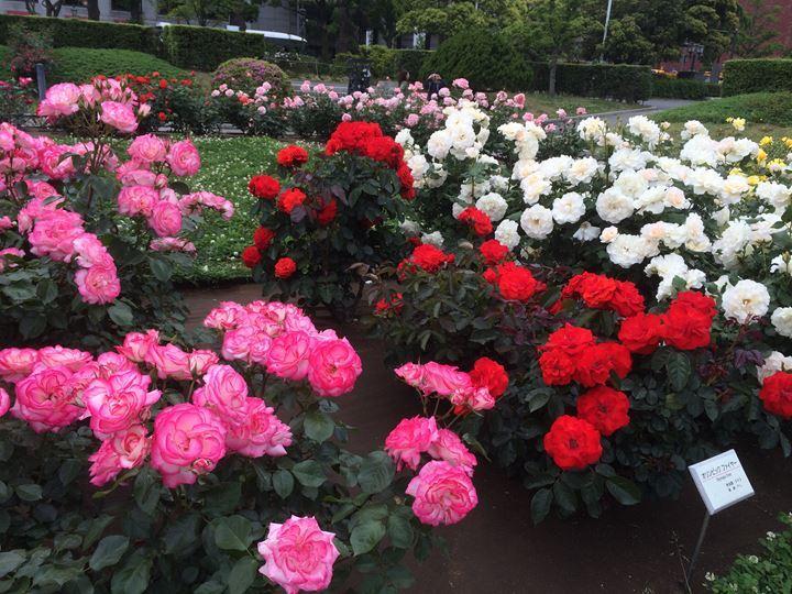 """バラ満開の山下公園・。・""""★"""